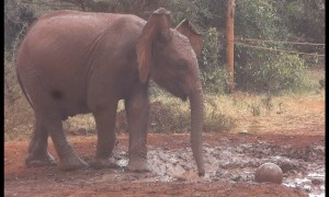 Baby elephant adorably plays soccer in muddy watering hole