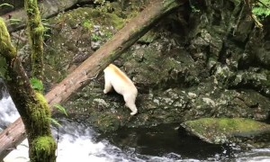 Catching a Glimpse of Extremely Rare Spirit Bear