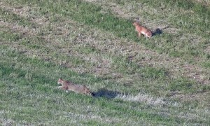 European Wildcats Hunting Field Mice