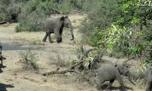 Grumpy elephant chases warthogs away from watering hole