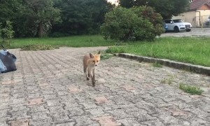 Cute Fox Comes in Close