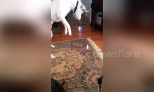 Confused US dog launches attack on beam of sunlight on carpet