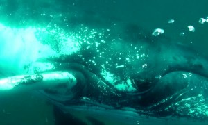 Massive whale shark crashes into diver's camera