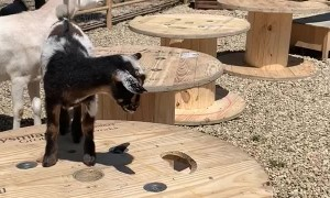 Tiny Goat Learns How Far It Can't Jump