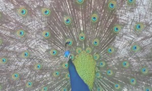 Wild peacock displays stunning colors in front of suburban home