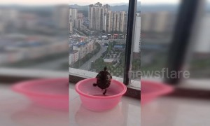 Determined turtle in China can't quite climb out of a plastic bowl