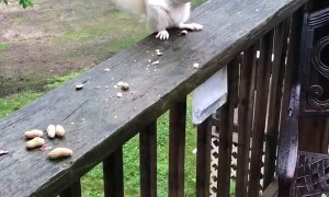 Albino Squirrel Squares Off to Protect Nuts