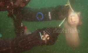 Diver frees bat ray hooked to fishing line in southern California