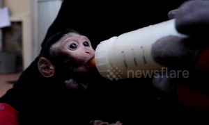 Orphaned monkey finds refuge at Indonesian wildlife center