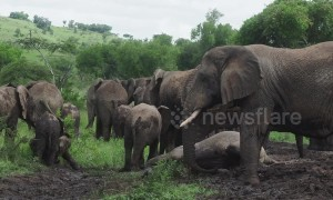 Baby elephants muck around in mud bath at Rwanda national park