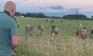 Cows incredibly rush over to listen to saxophone player