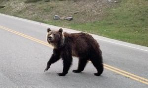Cute Cub and Mama Bear Crossing