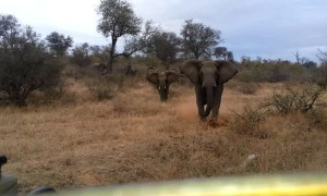 Elephant charges towards and attacks safari jeep