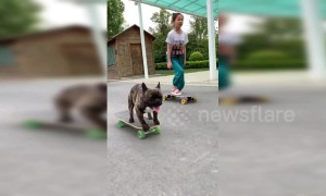 This French bulldog can skateboard better than most people