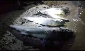 Shark carcasses found without fins and tails after illegal fishing activities in Indonesia