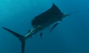 Diver has face to face encounter with world's fastest fish