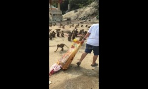 Woman feeds hundreds of wild monkeys in Thailand