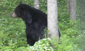 Bear Turns Tree into Backscratcher
