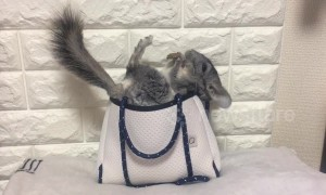 Just an incredibly cute chinchilla in a handbag