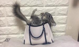Just an incredibly cute chinchilla in a handbag