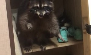 Russian Raccoon Needs Rescuing