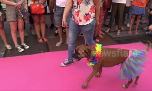 Stylish dogs take on catwalk during Pride celebrations in Madrid