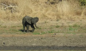 Watch cheeky baby elephant's hilarious attempt to chase away small bird