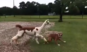 Hilarious moment Texas alpaca chases off dog for getting near her bestie, a pig