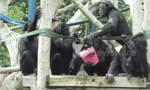 Endangered bonobos brawl over ice during UK heatwave
