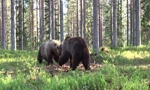 Bout Between Bears