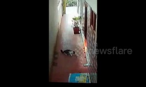 Brave pet cat fights off deadly cobra at home in southern India