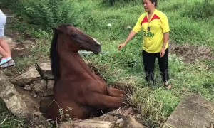What a mare! Horse rescued after getting stuck in concrete drain for three hours