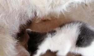 Dog Adopts a Kitten