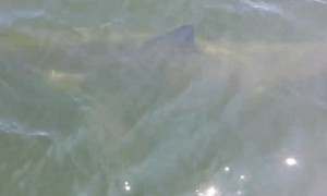 Great White Shark spotted feet away from whale-watchers
