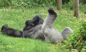 Silverback gorilla stretches out in summer heat to sunbathe at Bristol Zoo