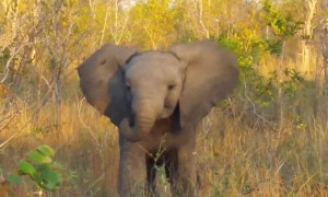 Baby elephant adorably attempts to scare away tourists