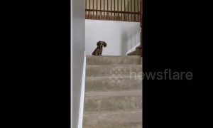 Tiny US pup hilariously follows owner moving between staircases