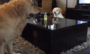 Clever Golden Retriever puppy outsmarts his older brother