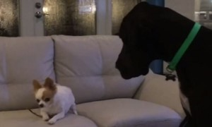 Tiny Chihuahua refuses to share treat with Great Dane