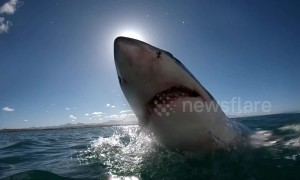 Agile great white shark eclipses the sun during incredible slow-mo leap