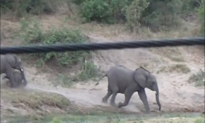 Baby elephant's over-excitement results in adorable tumble