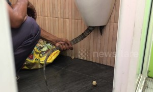 Hapless monitor lizard rescued after getting stuck in coffee shop urinal