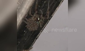 Horrifying scene as huge wolf spider falls revealing hundreds of babies