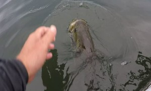 Fisherman Feeds Wild Bass Before Release