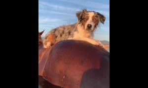 Australian Shepherd goes horseback riding through water