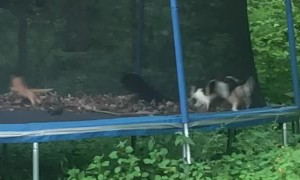 Felines Find Fun on Trampoline