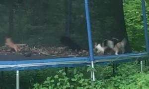 Felines Find Fun on Trampoline