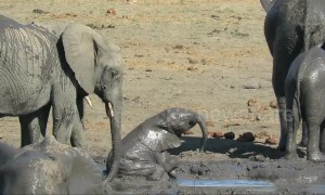 Clumsy baby elephant needs help from big sister to escape mud