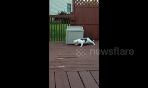 Confused cat circles bin while chasing leash in Michigan garden