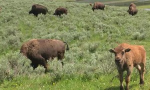 Kitty Stares Down Bison